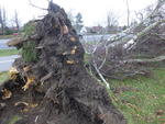 uprooted tree in Rostock